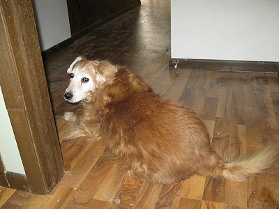 Are You Going For Pet Friendly Wooden Floors Aspen Wood